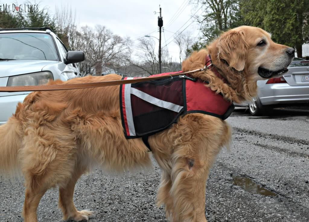 Doesn't Harley look like such a proud dog sporting his utility vest?