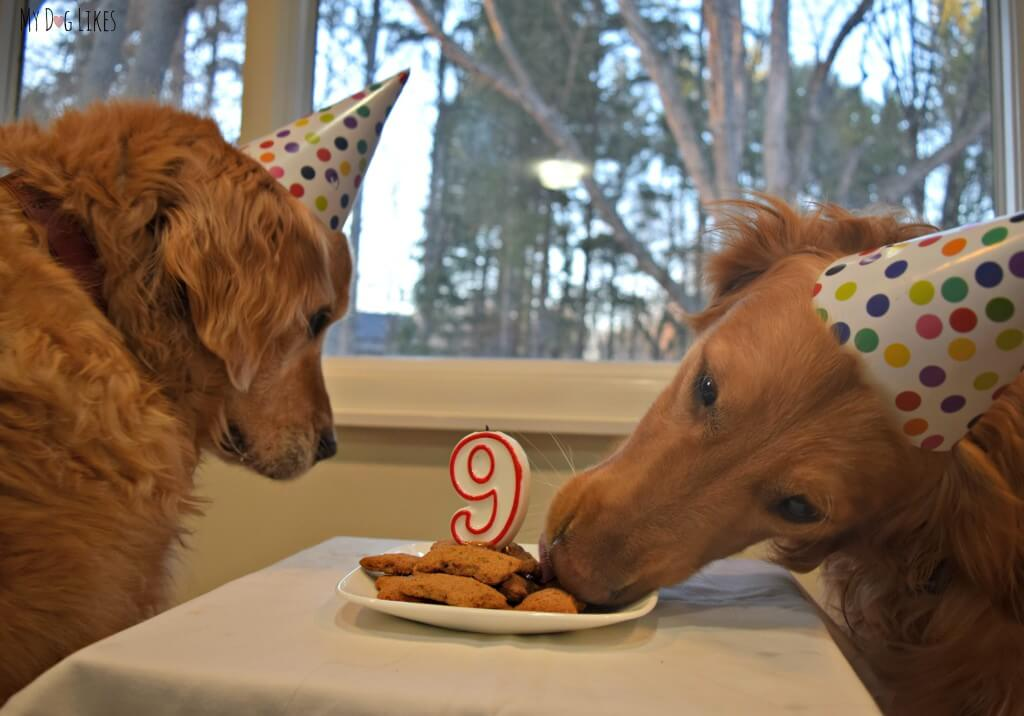 Charlie sneaking a taste of the cookie cake at our Dog Birthday Party!