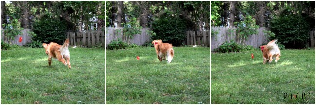 Charlie playing with the KONG Squeezz Ring fetch dog toy