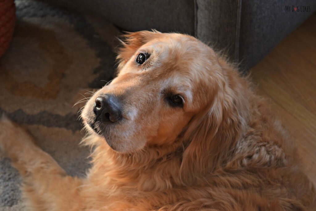 Look at that sweet senior Golden face!