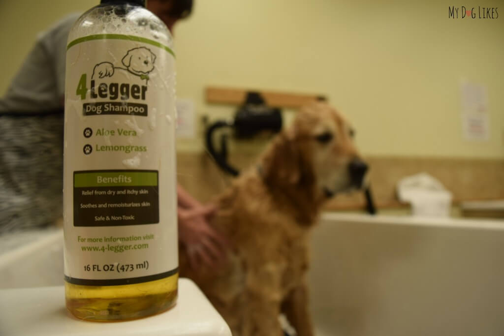 Bathing Harley with our new lemongrass shampoo.