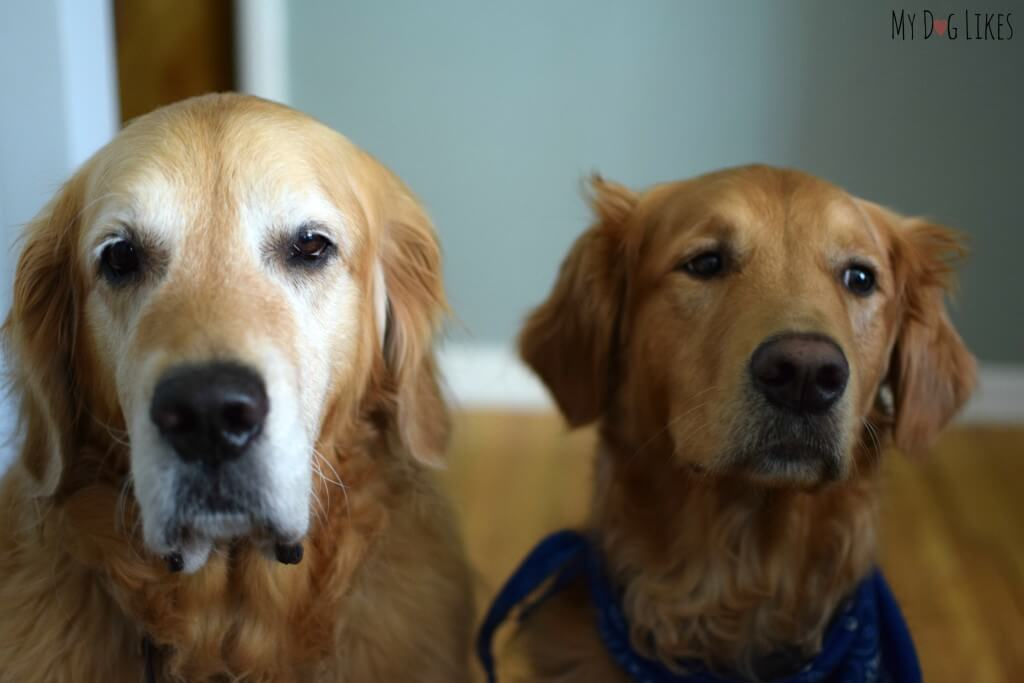 Golden Retrievers Harley and Charlie waiting for a dog treat!