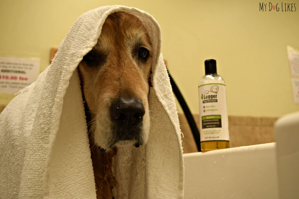 Harley graciously lending his services for our official MyDogLikes Dog Shampoo Reviews