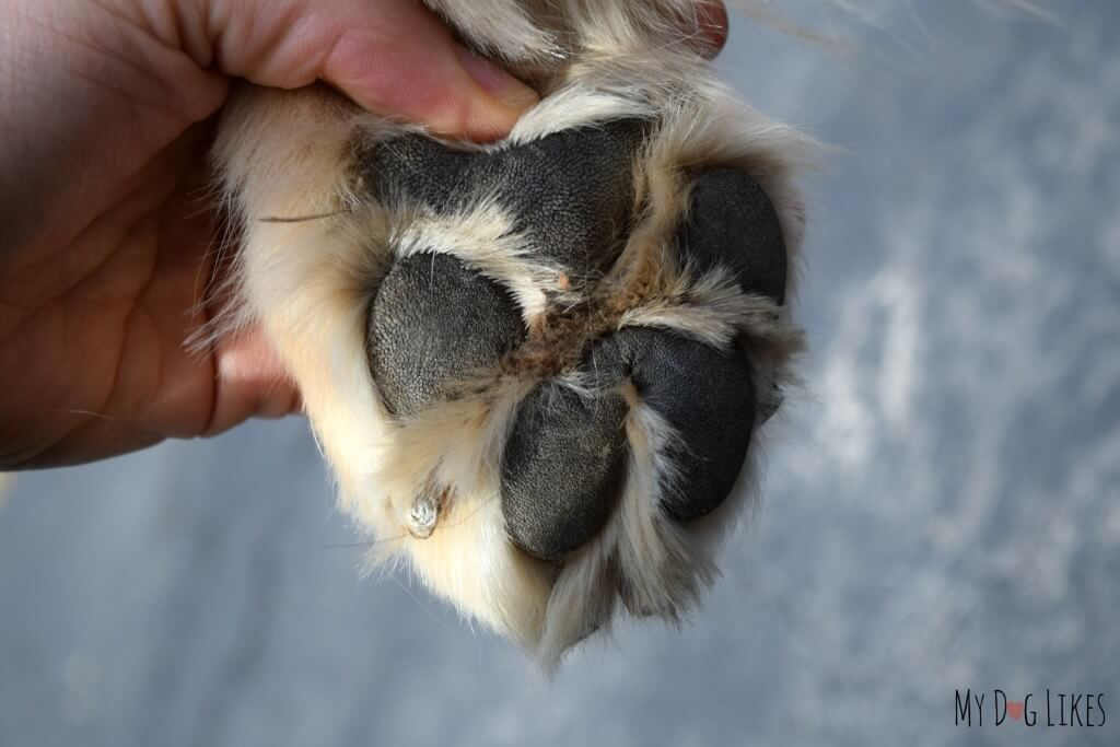 Dog's paw pads are not as tough as they look! They are still sensitive to extreme temperatures on both ends of the spectrum.