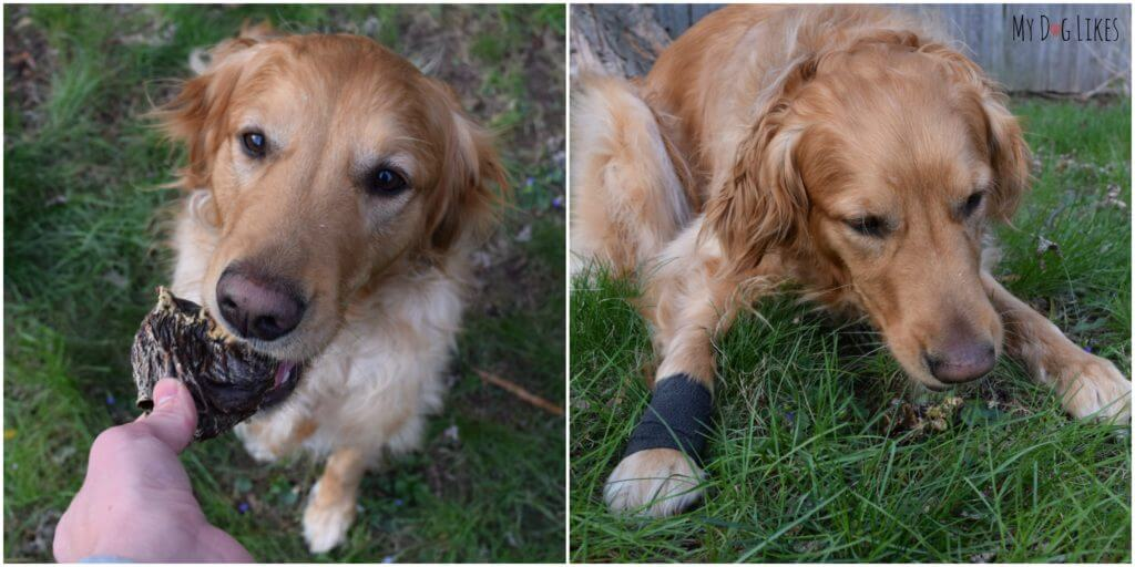 Our Golden Retriever Charlie with a wrapped paw after tearing his dewclaw