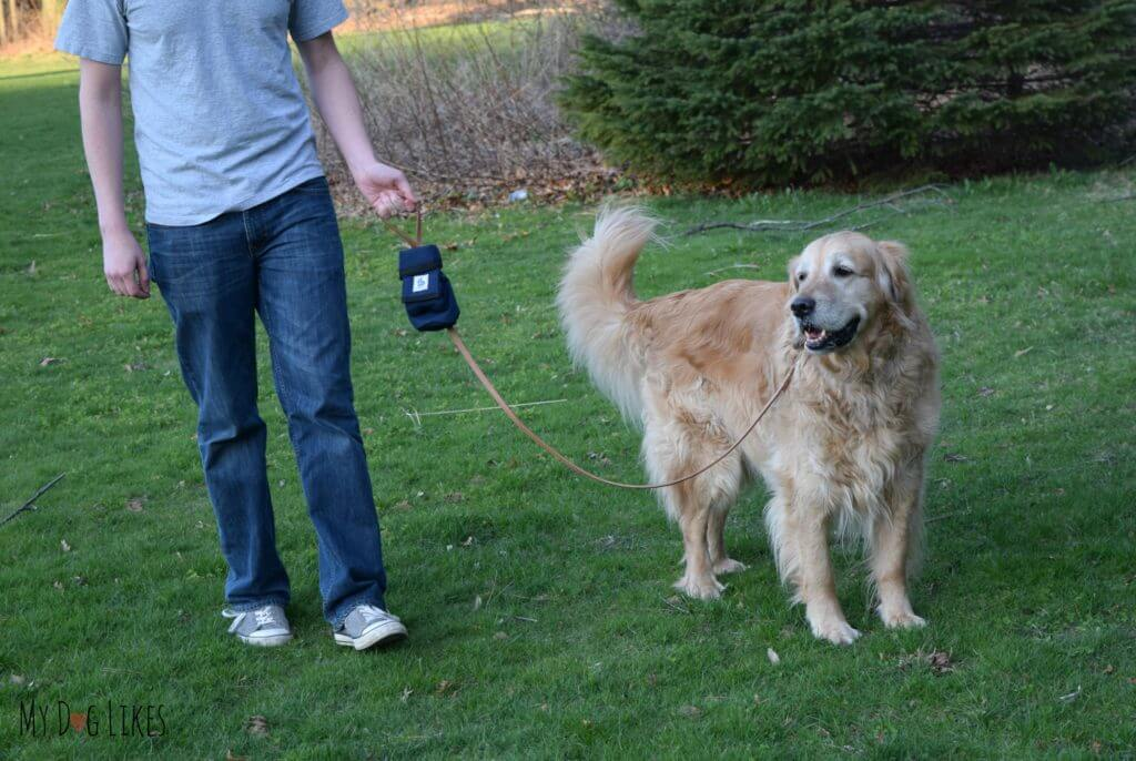Practicing loose leash walking with our Golden Retriever