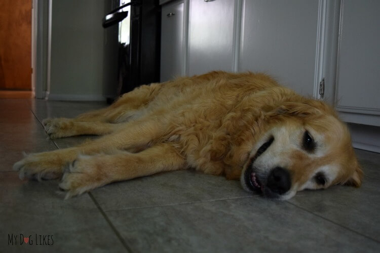 Our dog Harley cooling off on the tile floor in the kitchen