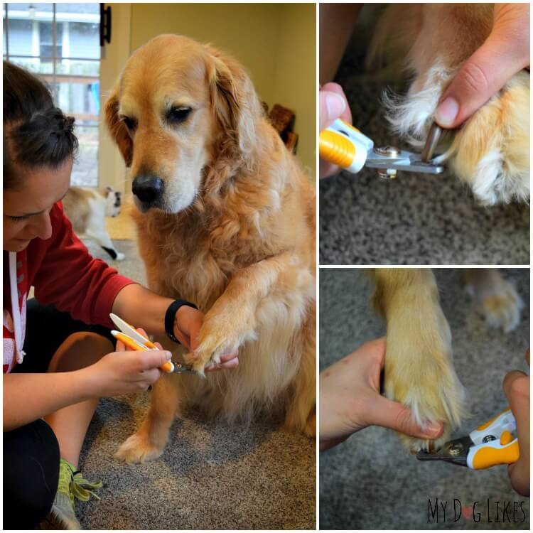 Cutting Harley's nails in our Wagglies Dog Nail Clipper Review