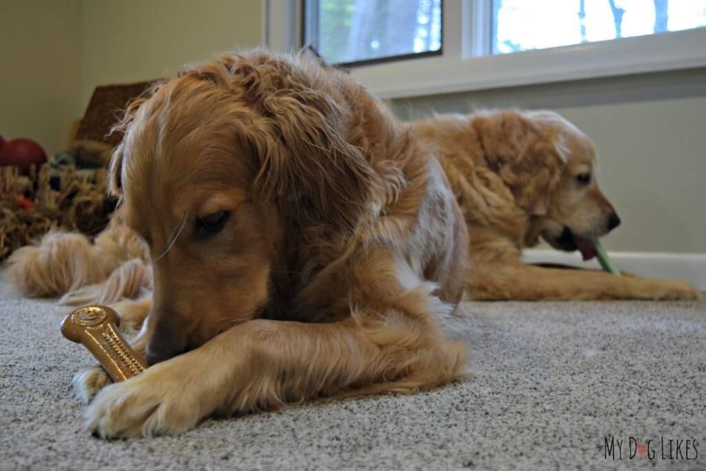 Our Golden Retrievers chewing on nylon dog bones
