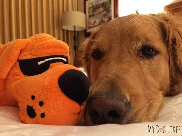 A sleepy Charlie is comfy in his bed at the dog friendly Sheraton Grand at Wild Horse Pass in Chandler, Arizona.