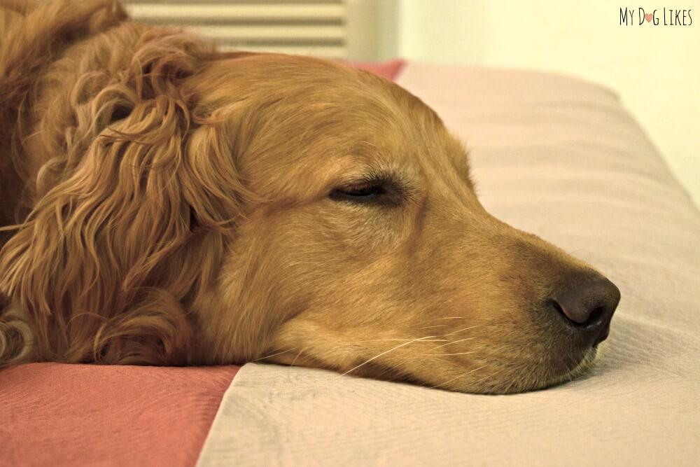 Golden Retriever dog sleeping on the bed