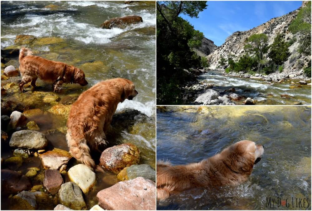 Our Golden Retrievers swimming in Shell Creek in Bighorn National Forest.