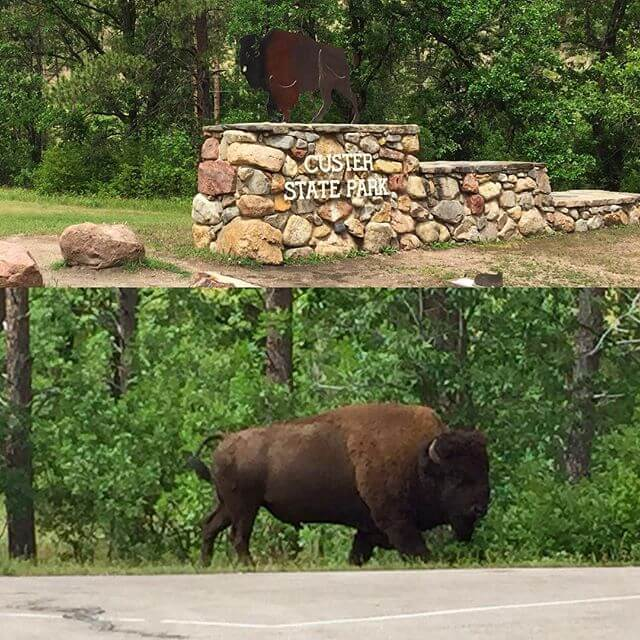 A large Bison welcoming us at the entrance to Custer State Park!