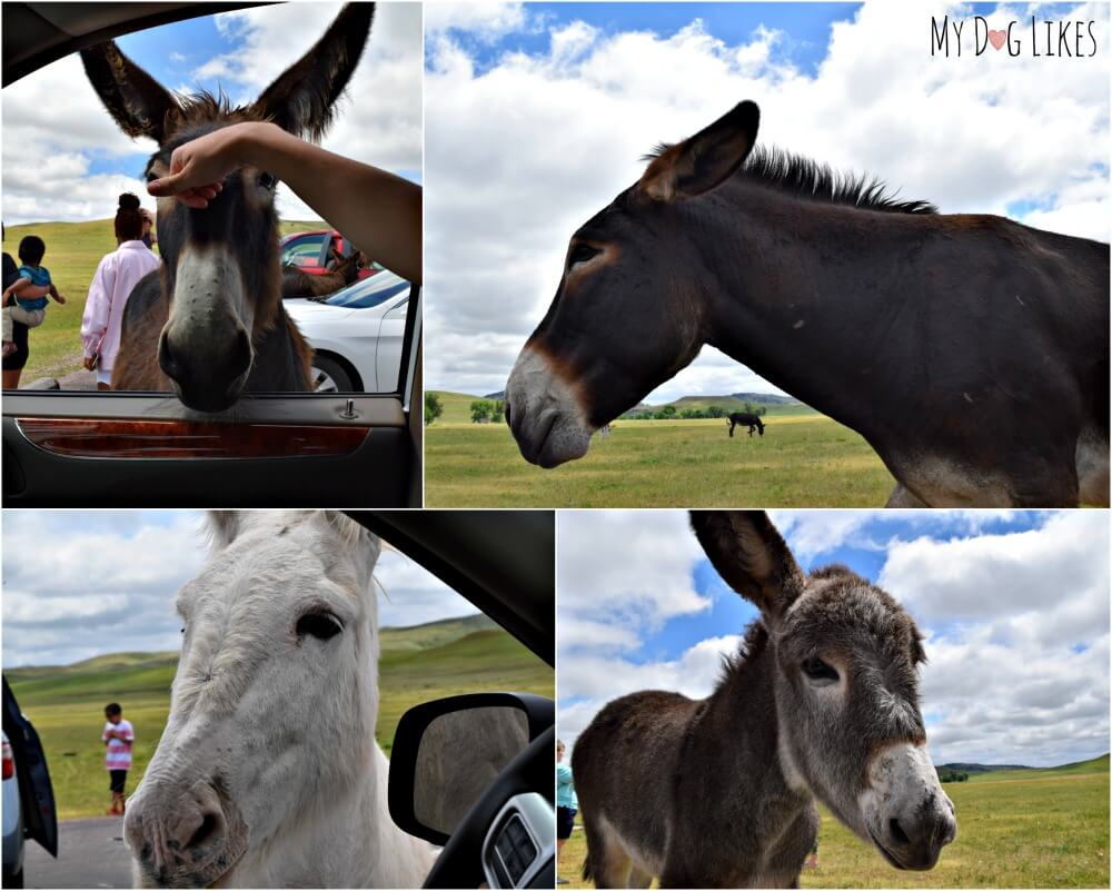 Petting the Burro at Custer State Park. These friendly animals are not native, but a small population make their home in the park.