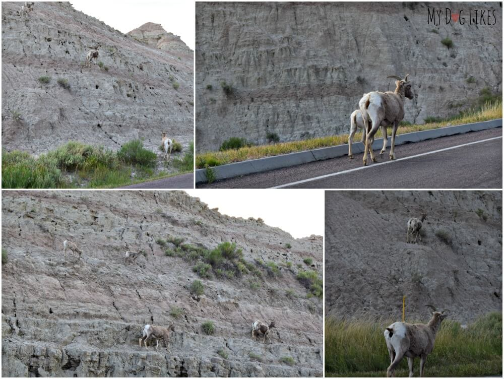 Watching a Mountain Goat family climbing the buttes at Badlands National Park