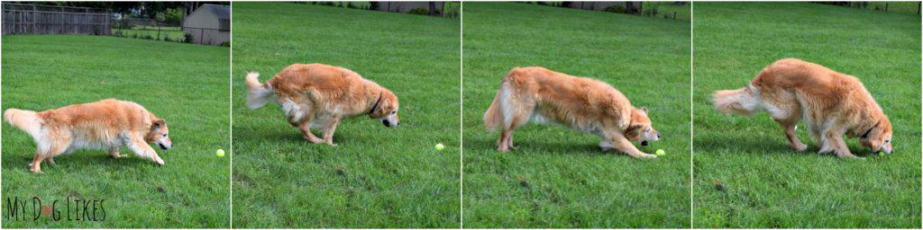 Our Golden Retriever Harley fetching a tennis ball