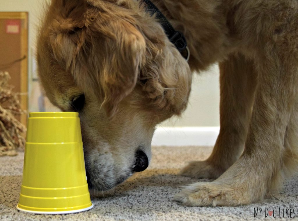 Our dog Harley trying to find a treat under a series of cups