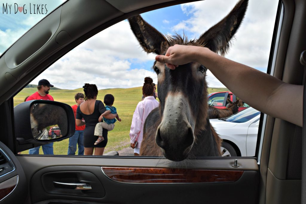 """Known as """"Begging Burros"""" this friendly crowd is not shy about asking for a snack!"""