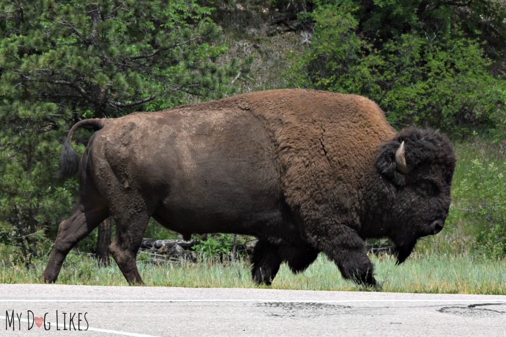 A large bison we caught right at the entrance to Custer State Park