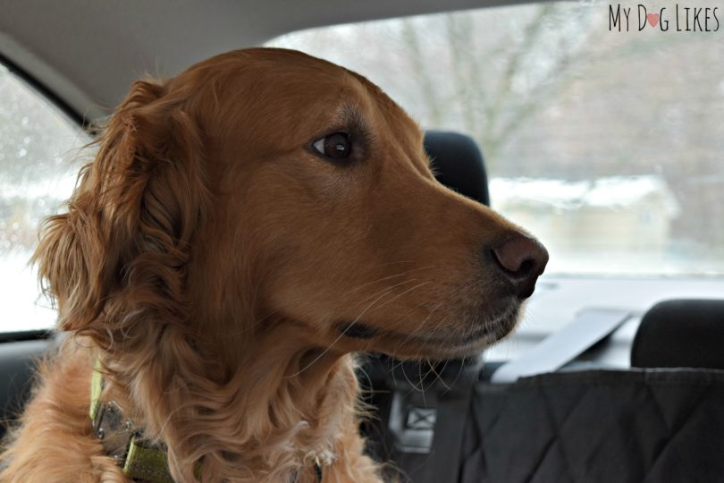 Charlie the Golden Retriever riding in the car