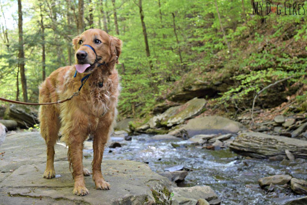 Golden Retriever along Kitchen Creek