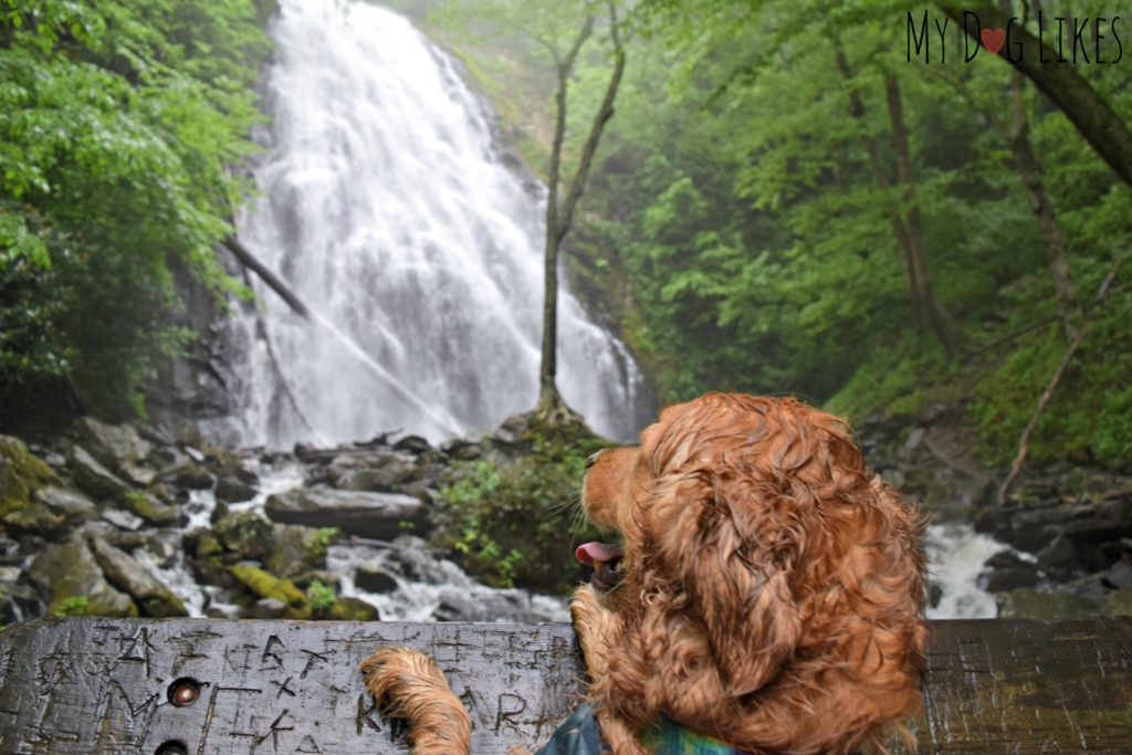 Golden Retriever Charlie admiring the view at Crabtree Falls in NC