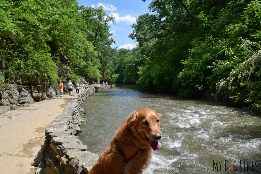 Charlie desperately wanted to take a dip in Cedar Creek!