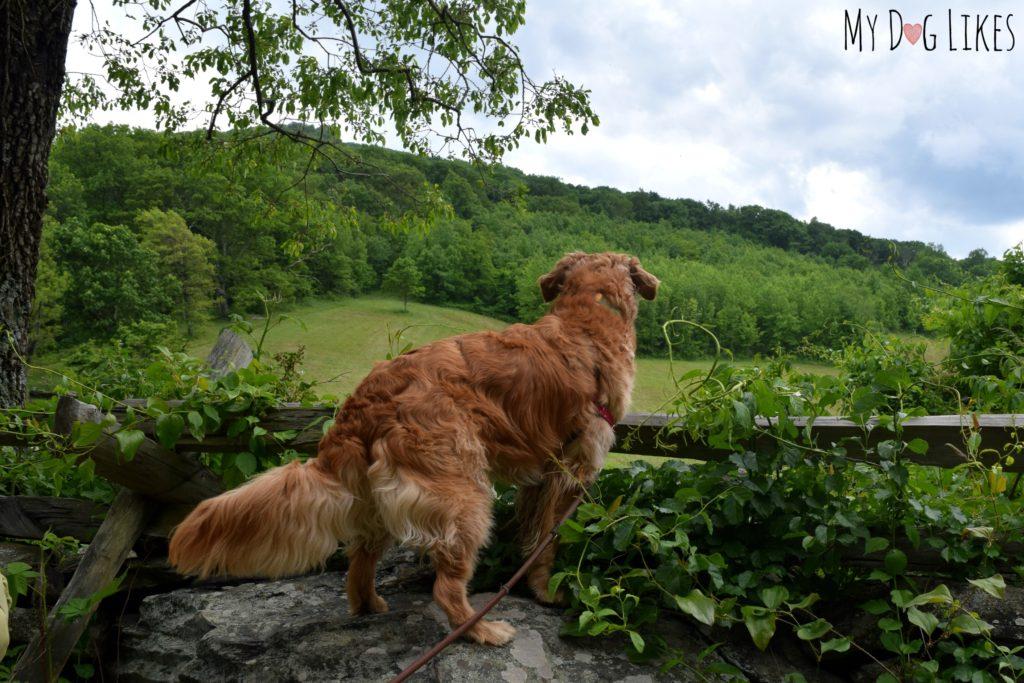 Charlie peering into the field at Humpback Gap