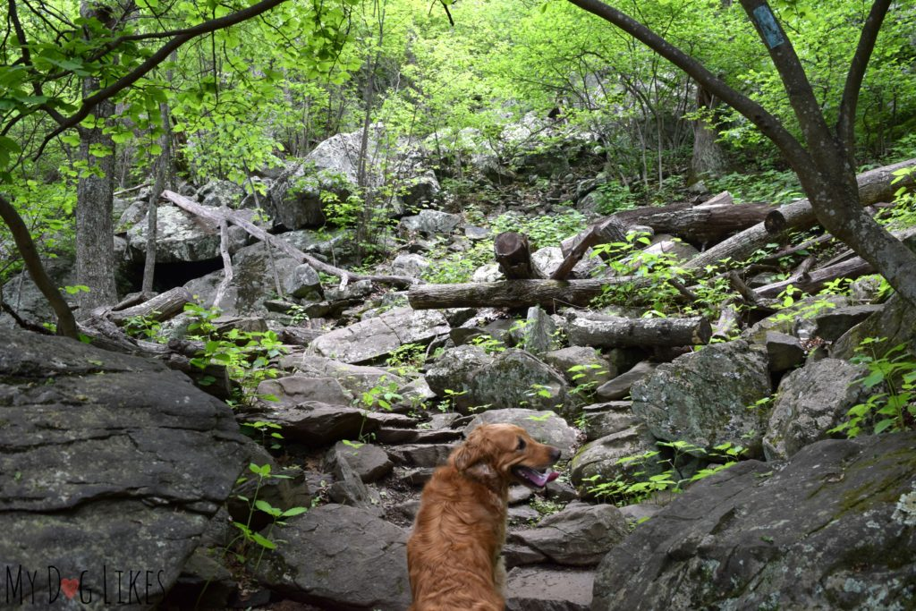 Charlie carefully navigating the rocky trail on the way up to Humpback Rocks