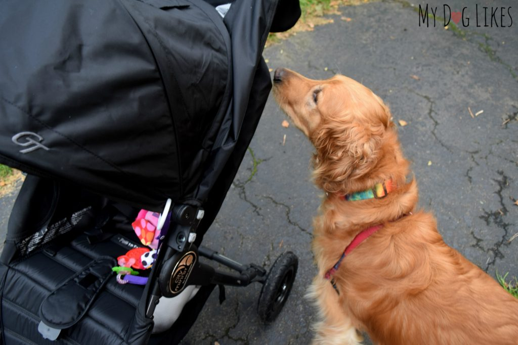 Introducing our dog to the stroller (while in park) to get him used to it