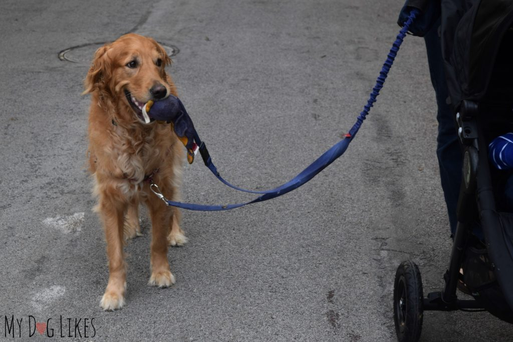 Dog getting used to walking with a stroller
