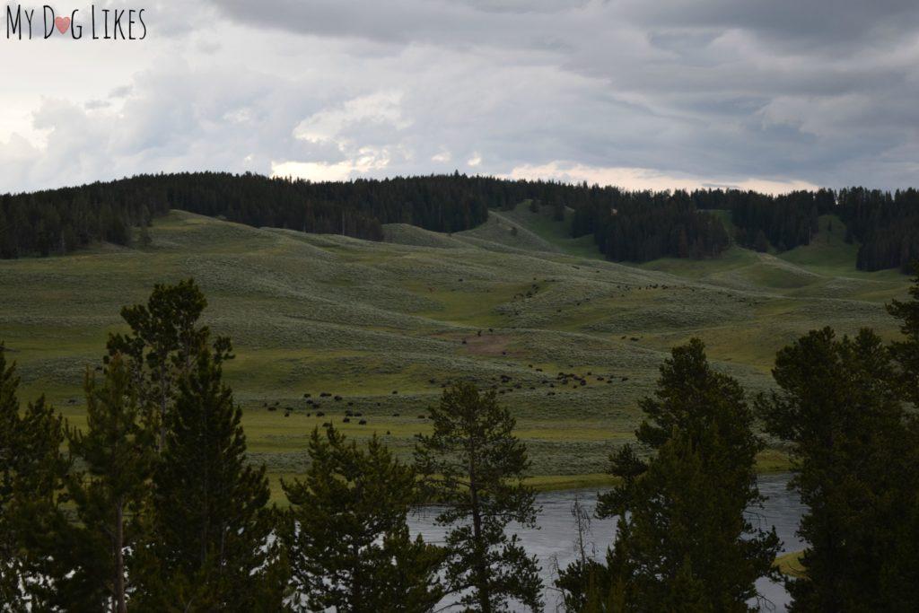 Herd of Buffalo in the Hayden Valley of Yellowstone