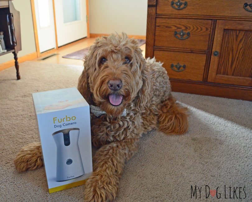 Spencer the Goldendoodle gearing up for his Furbo review