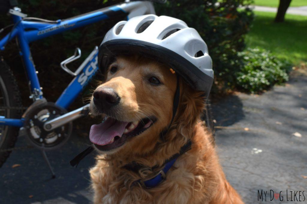 Dog wearing bicycle helmet