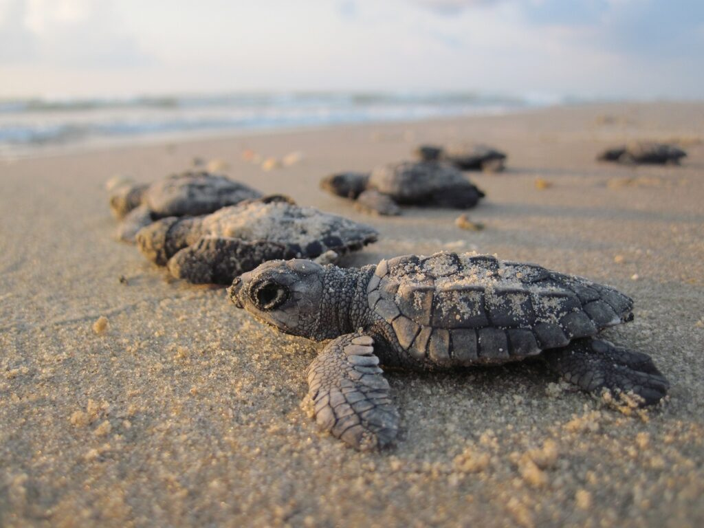 Baby Sea Turtles on the beach headed to ocean