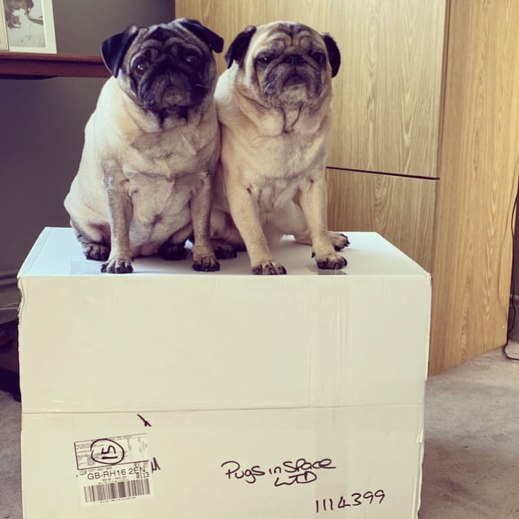 Two pugs, Ron and Lola, sat on a cardboard box.