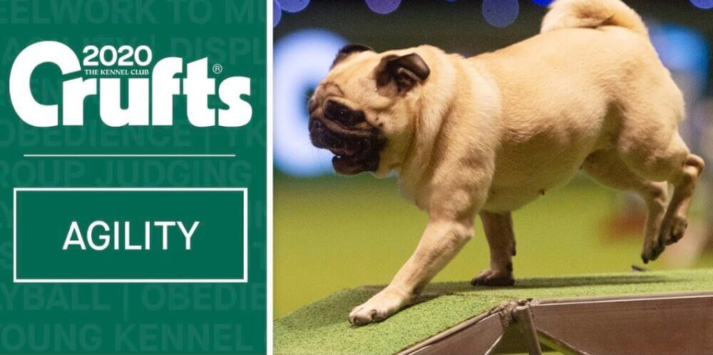 Crufts image of a Pug competing in an agility competing