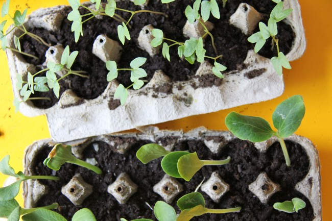 planting seeds in egg cartons