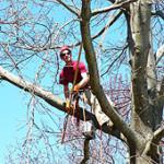 Tree Pruning to ANSI Standards