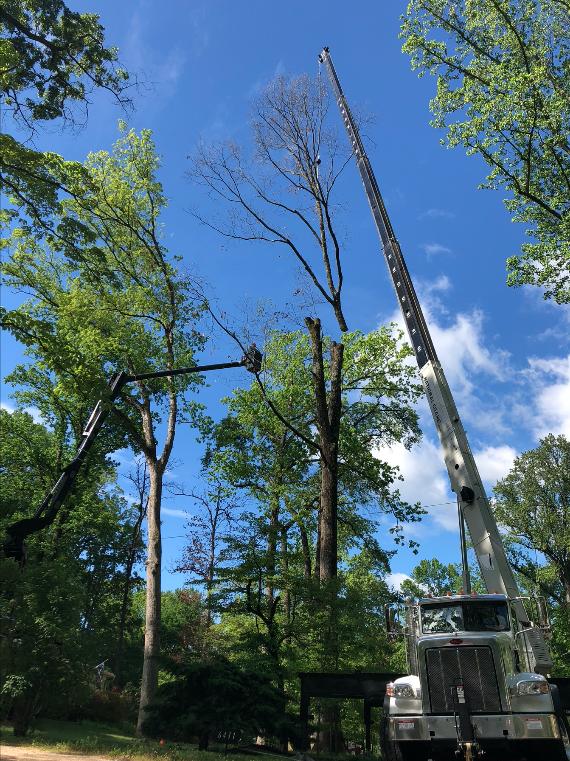 Mulheron Tree Experts Tree Removal Photo