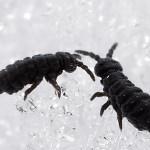 Snow Fleas - Pest Control