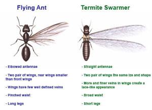images-termite_vs_ant