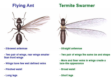 Swarming Termites in Cherokee County