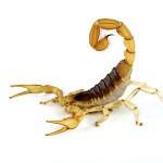Cherokee County Georgia Scorpions