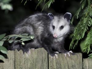 Opossum- Canton Termite and pest
