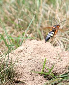 cicada killer Canton Georgia