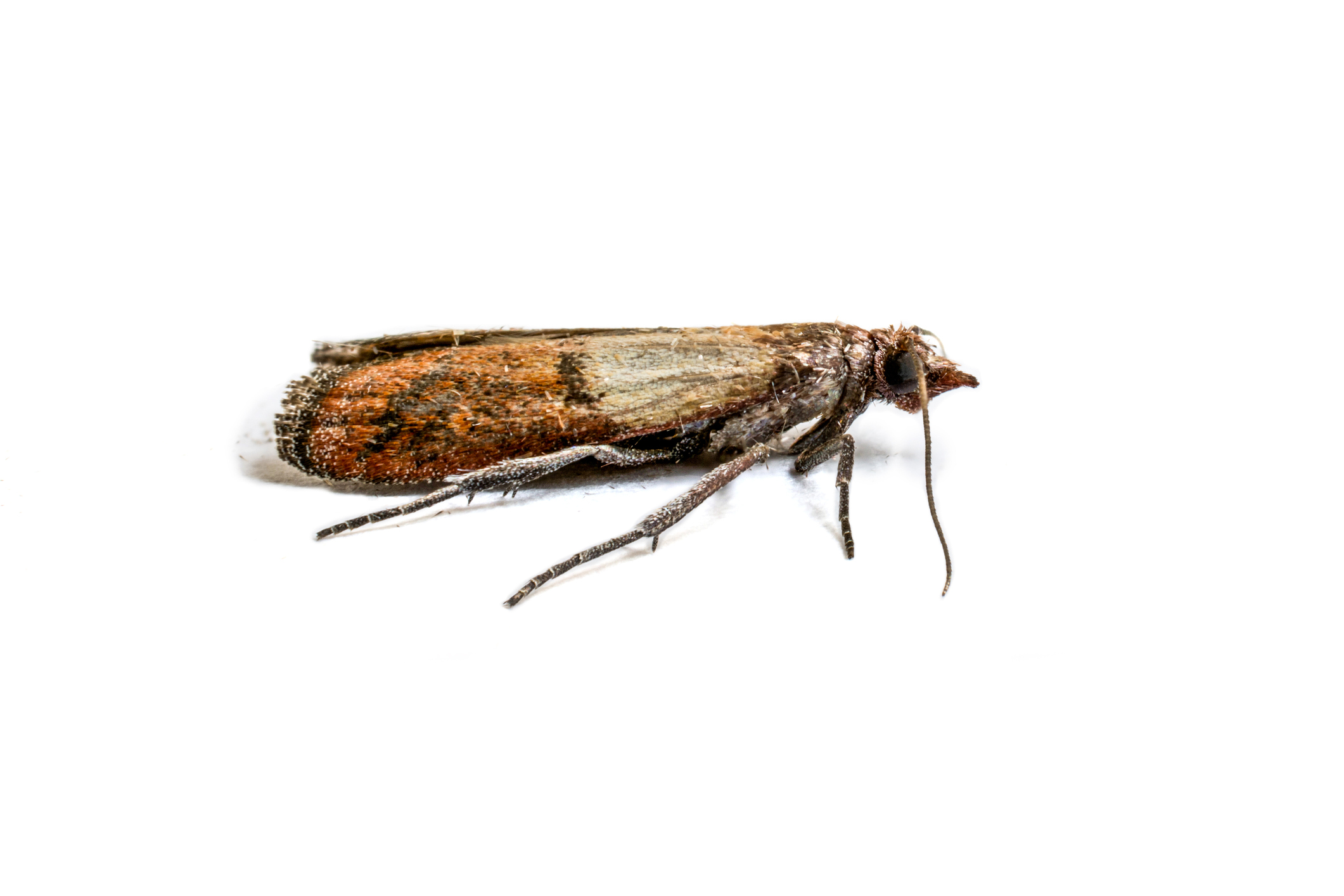 Indianmeal moths