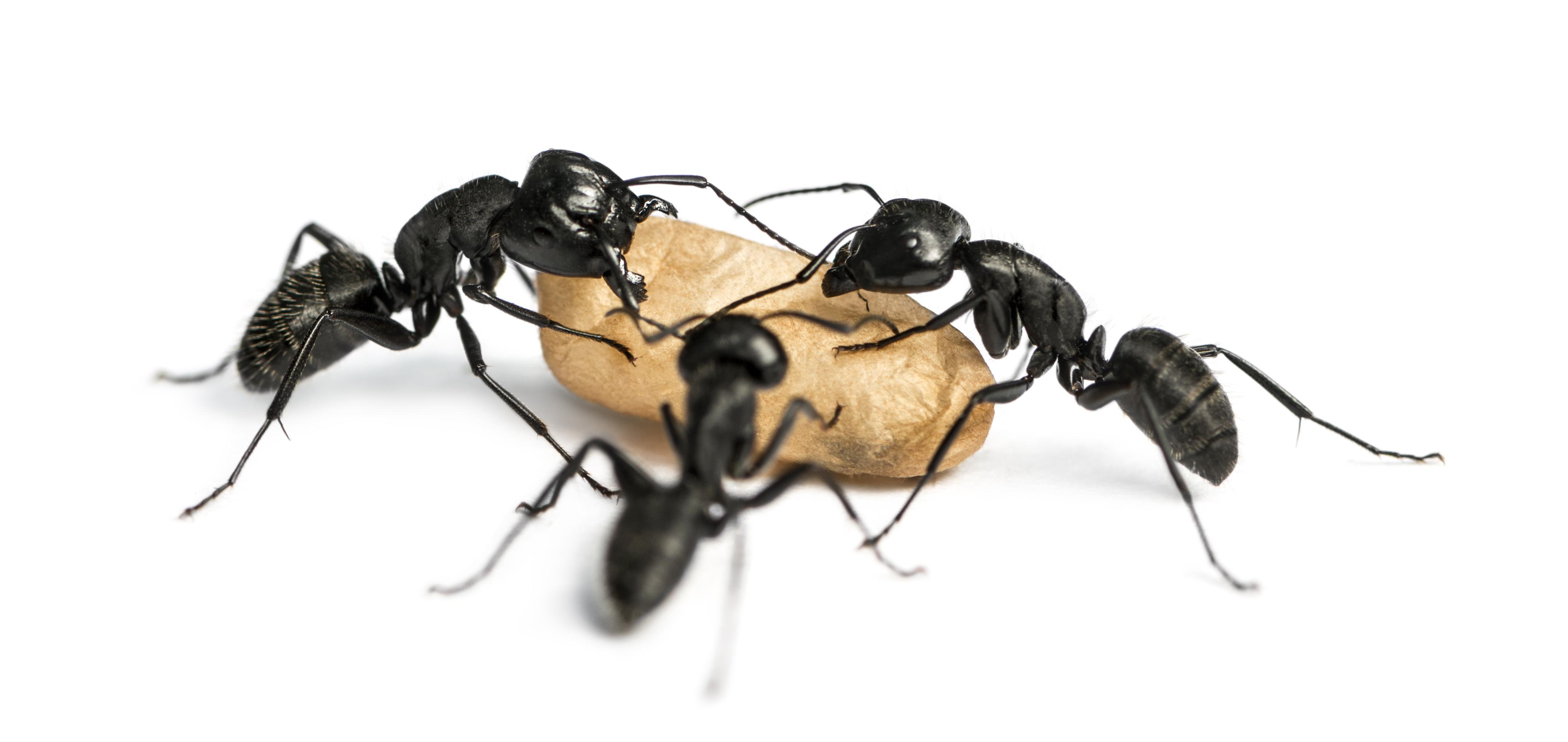 Carpenter Ants in Georgia