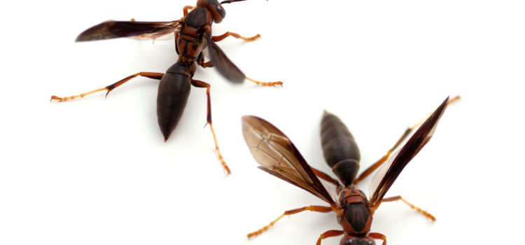 Wasp, Bees and Hornets
