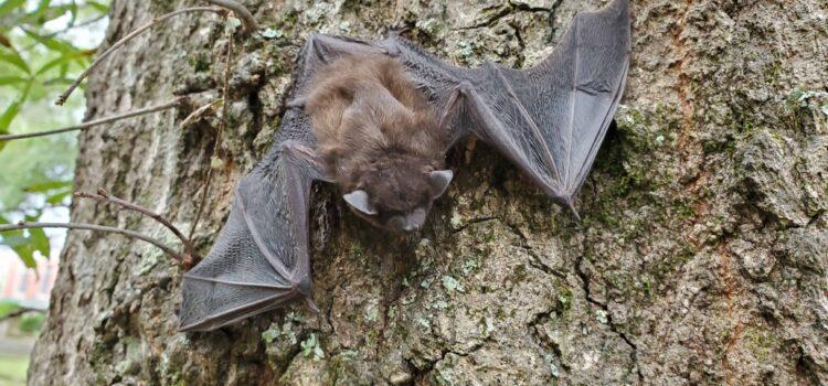 Bat Canton Termite